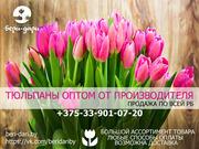 Тюльпаны оптом от производителя. Низкие цены. РБ