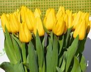 Выгонка Тюльпанов выгодно для оптовых закупок.