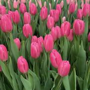 Тюльпаны Jumbo Pink розовые оптом к 8 Марта.